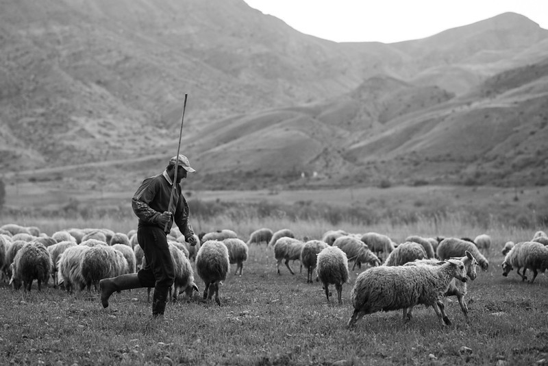 A sheep herder tends to his flock of Armenian Semicoarsewool