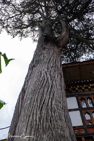 300-yr old cypress tree (Bhutan's national tree)