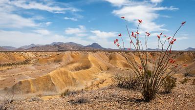 Ocotillo Blooms in Desert