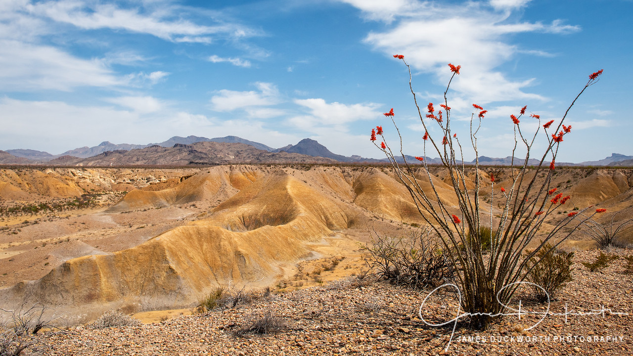 Ocotillo Blooms in Desert