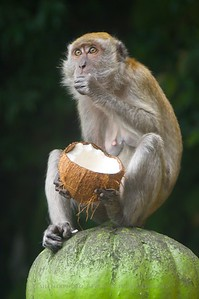 Macaque dining on coconut at the Batu Caves, a famous Hindu pilgrimage site in Kuala Lumpur.