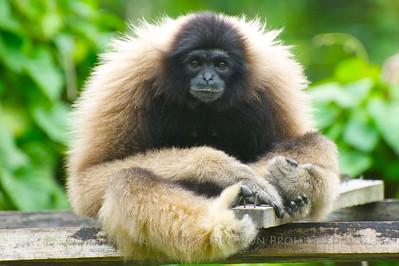 Bornean Gibbon at the Lok Kawi Zoological Park - Kota Kinabalu, Malaysia.