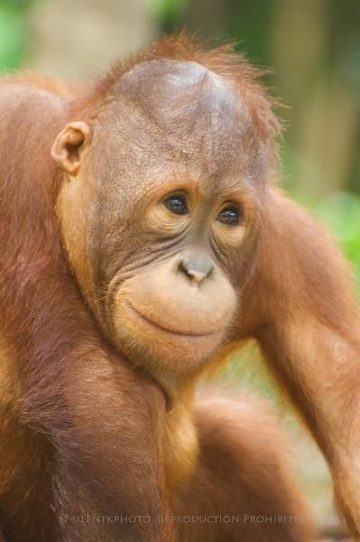 Juvenile Orangutan at the Wildlife Sanctuary at the Shangri La Rasa Ria Resort in Kota Kinabalu.