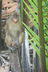 The 'evil macaque' on a mangrove stump in Weston (Sabah) Malaysia -- probably just trying to show me his bright teeth.