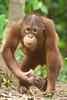 Juvenile Orangutan at the Wildlife Sanctuary at the Shangri La Rasa Ria Resort in Kota Kinabalu.