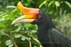 Lok Kawi Zoological Park in Sabah - Rhinoceros Hornbill