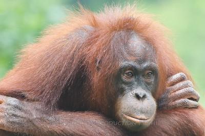 Orangutan: Lok Kawi Zoological Park - Sabah, Malaysia.