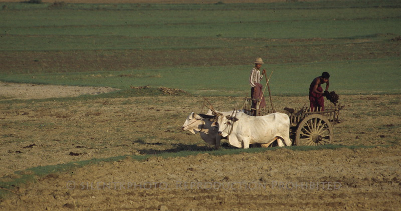 Common practice of farming in Burma, we saw few tractors, and many oxen commonly used instead of motorized machinery.
