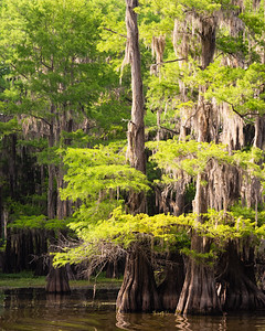Bald Cypress Vertical