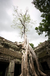 Ta Prohm is one of the most popular temples in in Siem Reap, Cambodia due to the trees growing out of the ruins and the jugle surroundings. www.rusticpathways.com Credit: Rustic Pathways Copyright: © 2015 Rustic Pathways Usage with express permission only.