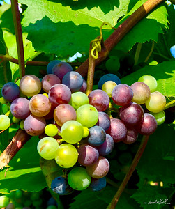 Wine grapes ready for Harvest