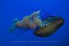 Jellyfish, Shanghai Aquarium