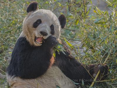 Panda Bear - Beijing Zoo