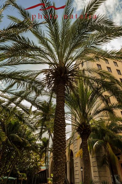 Palm tress in the Hotal Nacional de la Habana courtyard.