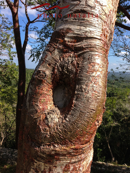 """Gringo"" tree - because once the cold weather is gone and the tree goes through a period of change where the trunk first goes red and then peels, just like a American tourist does when laying on the sun, they burn and then peel."