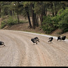 Wild Turkey Road Hazards