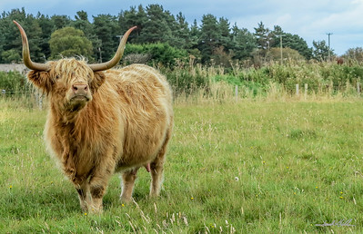 Scottish Coos