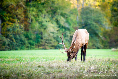 Elk in Smoky Mountains