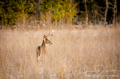 Buck in Cades Cove, Great Smoky Mountains National Park