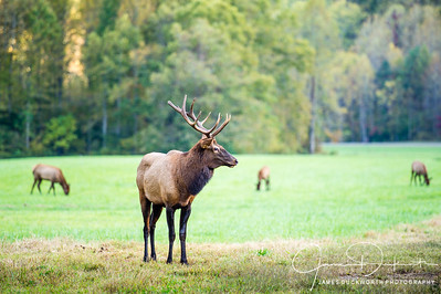 Elk Watching Over Heard, Great Smoky Mountains