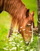 Horse in Cades Cove, Great Smoky Mountains National Park