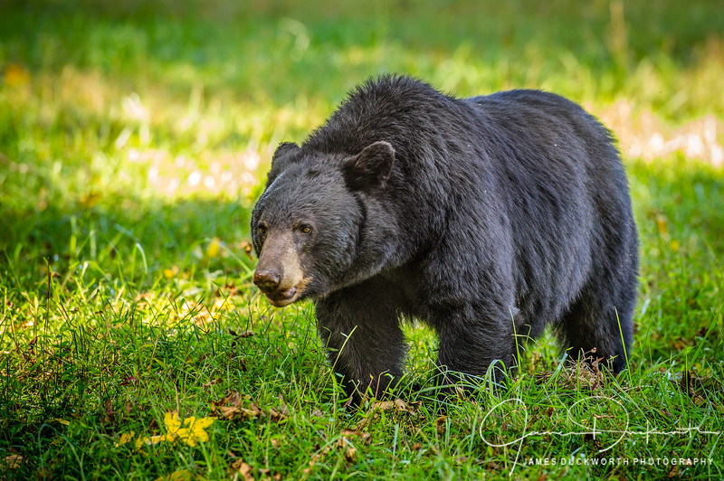 Bear in Cades Cove, Great Smoky Mountains National Park