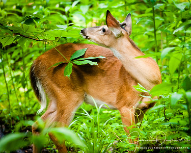 Doe Feeding in Great Smoky Mountains National Park