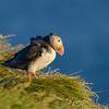 Papageitaucher (Fratercula arctica)