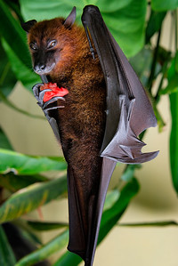 Flying Fox (bat, inverted) with Watermelon, Bali, Indonesia - 2016