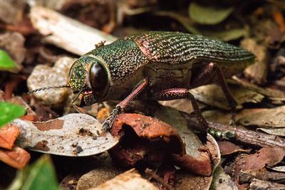 Sambeliler Insect, Rinca Island, Indonesia - 2016