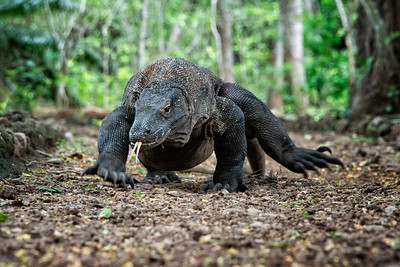 Komodo Dragon, Komodo Island, Indonesia - 2016