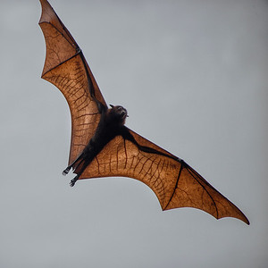 Flying Fox (bat) near Komodo Island, Indonesia - 2016