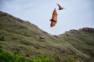 Flying Foxes (bats) near Komodo Island, Indonesia - 2016