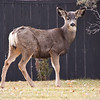 Mule deer, Odocoileus hemionus, wandering around the town of Windermere in British Columbia, Canada. Though wild, the deer have become tolerant of human habitat in their search for food.