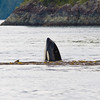 """Orca, """"Killer Whale"""", Orcinus orca, in the waters of the Discovery Passage off the coast of Vancouver Island, not far from Campbell River."""