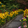 Sunflowers, Black-eyed Susans, Daisies and Dahlias line a garden path in Butchart Gardens on Vancouver Island, British Columbia, Canada.