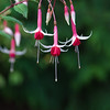 Fuchsia 'Mrs Lowell Swisher' in Butchart Gardens on Vancouver Island, British Columbia, Canada.