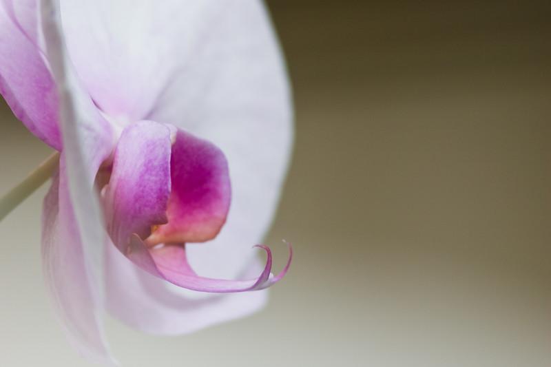 Phalaenopsis Orchid, Phalaenopsis 'Zuma Urchin', at Butchart Gardens, Victoria, British Columbia, Canada.
