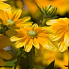 Rudbeckia hirta 'Prairie Sun'  sometimes called Gloriosa Daisy, in Butchart Gardens, Victoria, British Columbia, Canada,