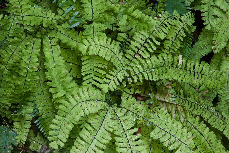 Ferns in Englishmans Falls park on Vancouver Island, British Columbia.