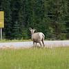 Rocky Mountain Bighorn sheep, Ovis canadensis, near the town of Jasper, in Jasper National Park, Alberta, Canada.