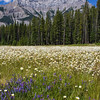 Wildflowers and Mt Rundle, on the side of Loop Minnewanka road in Banff National Park, Alberta, Canada.