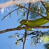Iguana in Costa Rica.