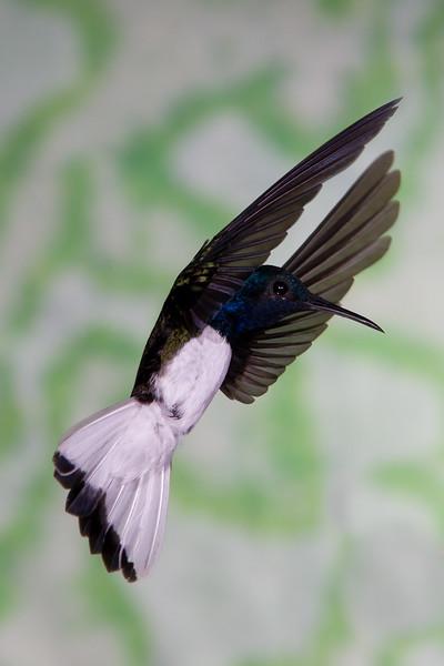 White-necked Jacobin hummingbird, Florisuga mellivora, at Rancho Naturalista in Costa Rica.