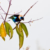 Golden-hooded Tanager, Tangara larvata, at the Sarapiqui Neotropic Nature Center in Costa Rica.
