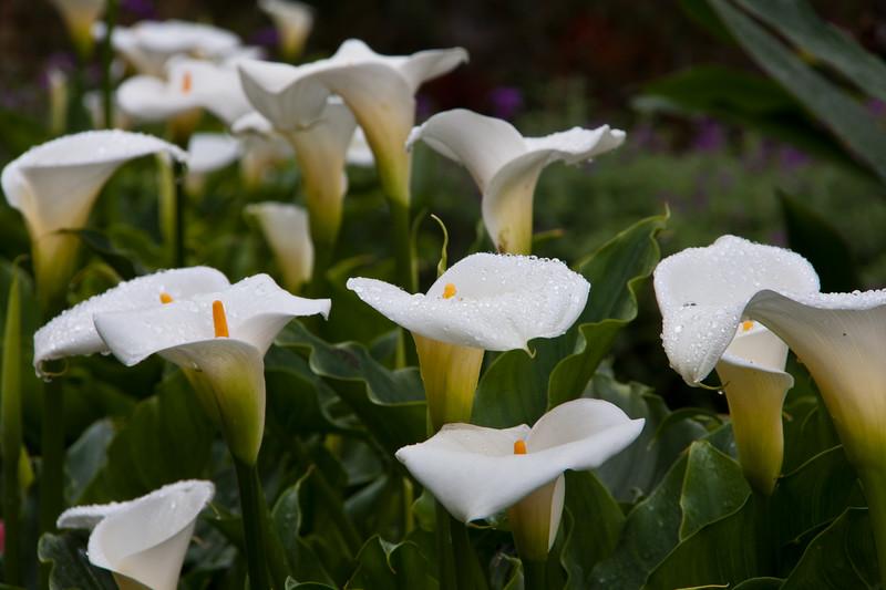 Rain drops on Calla Lily in the gardens at Savegre Mountain Lodge in the Tamalanca Mountains in Costa Rica.