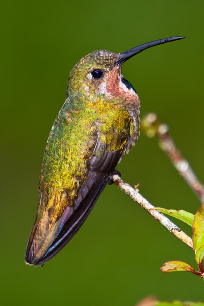 Juvenile Green-breasted Mango, Anthracothorax prevostii, at Rancho Naturalista in Costa Rica.