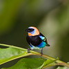 Golden-hooded Tanager, Tangara larvata, in Costa Rica.
