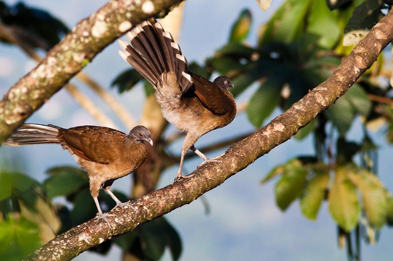 Gray-headed Chachalaca, Ortalis cinereiceps, at Rancho Naturalista in Costa Rica.