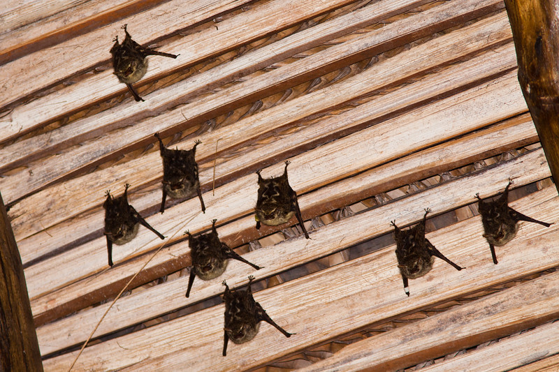Bats on the ceiling at the Sarapiqui Neotropic center, northeastern Costa Rica. Bats are flying mammals in the order Chiroptera.